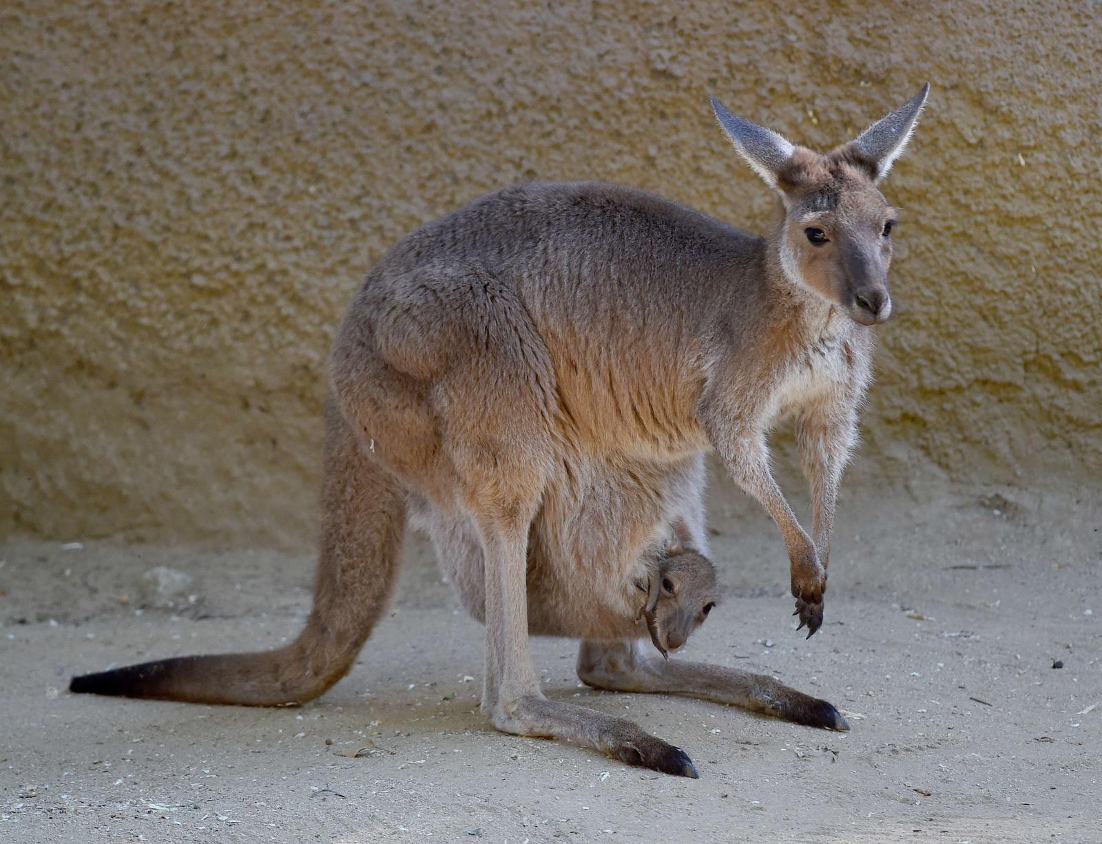 kokią varpą turi kengūra