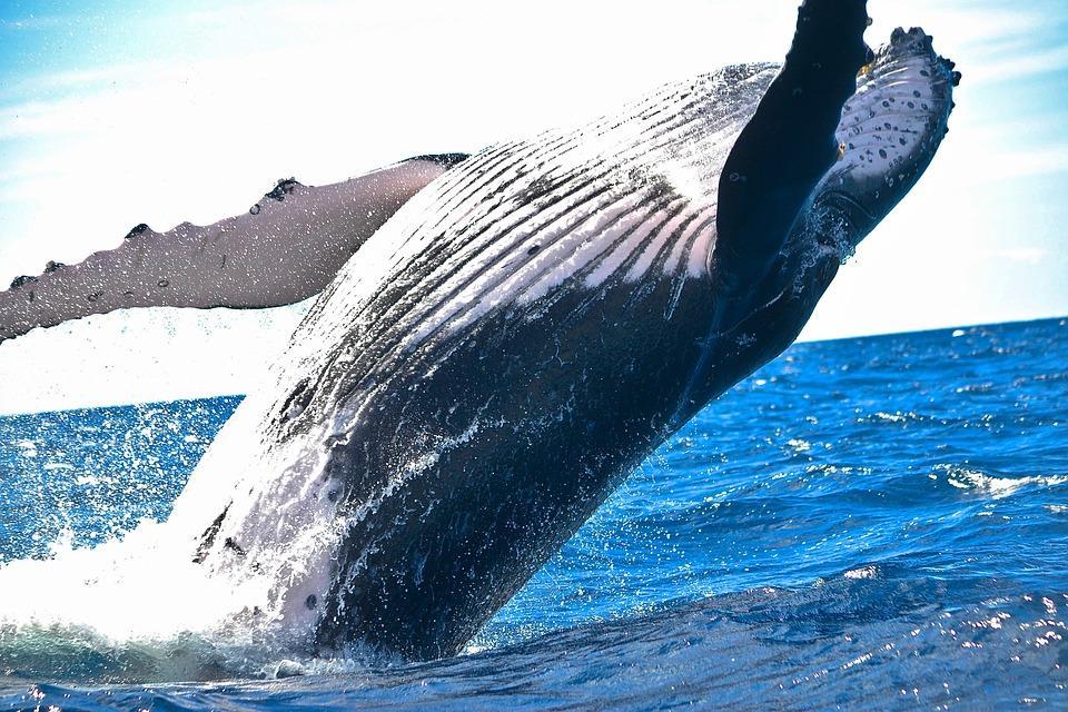 didžiausias varpos banginis)