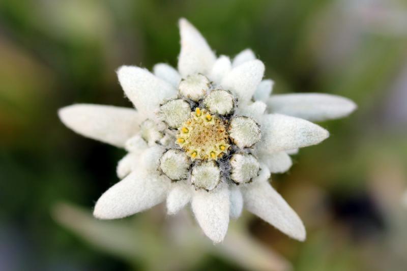 Картинки цветок эдельвейс 7