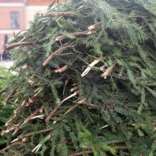 Rotušės aikštėje ryškėja kalėdinės Kauno eglės kontūrai