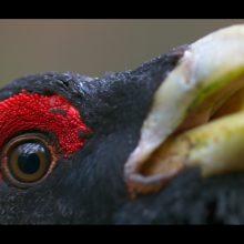 """Galimybės: norėdamas suprasti tai, apie ką pasakoja savo nuotraukose, M. Survila pasirinko biologijos studijas. Tačiau daugiausia apie paukščius sužinojo filmuodamas """"Sengirę""""."""