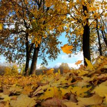 Nukritę lapai – gražu, bet pavojinga: rugsėjį išvežta 900 tonų lapų