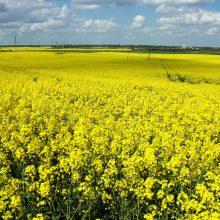 Gamtai rapsų ar kukurūzų laukai yra tragedija