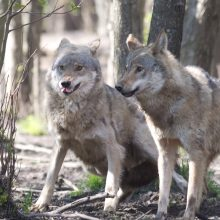 Kėdainių rajono gyventojai bijo vilkų puolimo