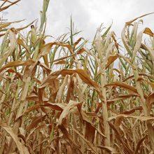 Nuo sausrų kenčiantiems ūkininkams – dvi žinios iš EK