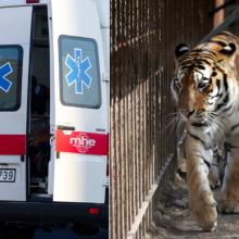 Kalvarijos zoologijos sode tigras nukando moteriai pirštą