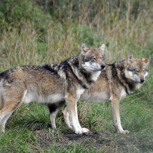 Nuo šiol plėšrūnus – vilkus, lūšis ir lokius – skaičiuos ir gyventojai