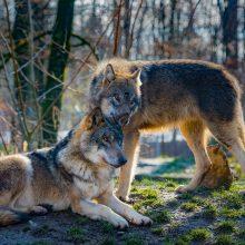 Kol kas nėra žinoma, kiek vilkų iš tiesų gyvena Lietuvoje