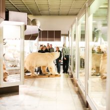 Lokys Kasparas į Kauną sugrįžo kaip muziejaus eksponatas