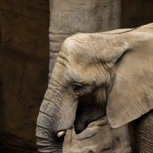 Rusijoje iš cirko pabėgo drambliai: vieną sustabdyti bandęs vyras nučiuožė gatve