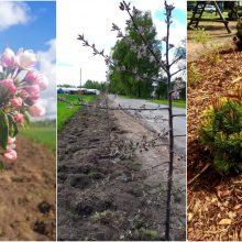 Sodinami medžiai papuošė Kauno rajono seniūnijas