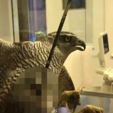 Veterinarams teko užmigdyti tyčia pašautą į Raudonąją knygą įrašytą paukštį