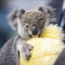 Tyrimas: Australijoje nuo krūmynų gaisrų nukentėjo 3 mlrd. gyvūnų