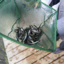 Vilniaus Žirmūnų paplūdimyje į Neries upę paleista tūkstančiai retų žuvų