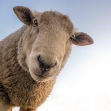 Molėtų rajone nusidrieks avių augintojų mugė