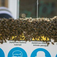 Kauno centre įsitaisė įspūdingas bičių spiečius