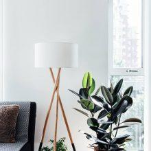 Fikusas – namų tvarkdarys: puošia interjerą, valo orą, harmonizuoja emocijas