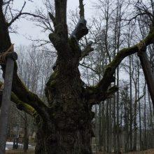 Lūžus Stelmužės ąžuolo šakai, specialistai vertina kitų medžio šakų būklę