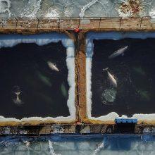 """Rusijos pareigūnai apkaltino """"banginių kalėjimo"""" savininkus"""