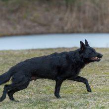 Vokiečių aviganių veisėja: šuo – ne žaislas