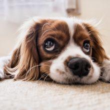 Specialistai apie šunis kankinančią sunkią ligą: ir Lietuvoje turime išlikti budrūs