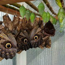 Sėkminga metamorfozė: Botanikos sode sparnus išskleidė atogrąžų drugys