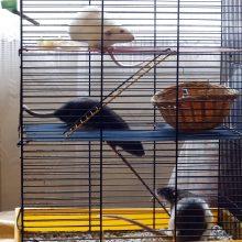 Žiurkių trijulę auginanti kaunietė: jos – kaip šuniukai