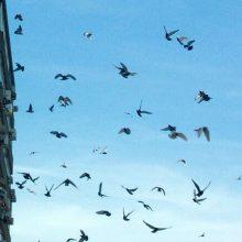 Ekspertas: paukščių čiulbėjimas neretai kelia ir problemų