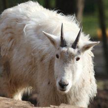 Pavasaris gyvūnų karalystėje – netvarkingų šukuosenų metas