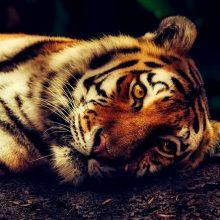 Švedijos zoologijos sode teko užmigdyti tigrę, užsikrėtusią koronavirusu