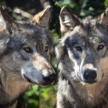 Siūloma leisti sumedžioti daugiau vilkų