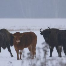ES inspektoriai lankosi Lenkijoje po sergančių karvių mėsos eksporto skandalo