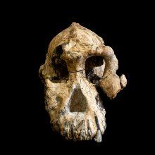 Rasta beveik 4 milijonų metų senumo kaukolė: tai – žmonių evoliucijos ikona