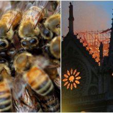 Paryžiaus Dievo Motinos katedros bitės per gaisrą išgyveno
