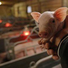 Lenkijos ūkiuose ir toliau fiksuojami nauji afrikinio kiaulių maro židiniai