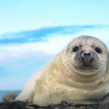 Neatsiperkantis jūros gyvūnų slaugymas