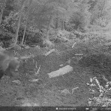 Meška ir toliau klaidžioja Klaipėdos apskrities miškuose