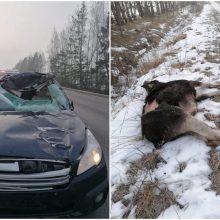 Kelyje Kretinga-Jokūbavas – skaudus incidentas: automobilis partrenkė į kelią išbėgusį briedį