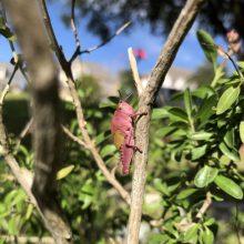 Neįtikėtina: rožinis žiogas