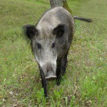 Klaipėdos apskrityje – nerimas dėl afrikinio kiaulių maro