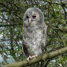 Dėl negyvų pelėdų – į teismą: aplinkosaugininkai neužtikrino paukščių saugumo?
