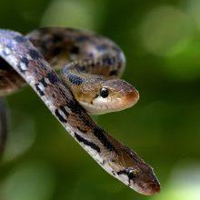 Gąsdinanti statistika: kasdien nuodingos gyvatės sugelia 7 400 žmonių