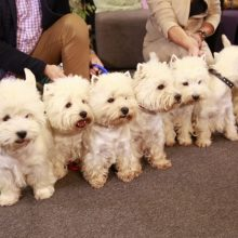 """Kazlų Rūdos policija pradėjo tyrimą dėl """"šuniukų pardavėjų"""" sukčiavimo"""