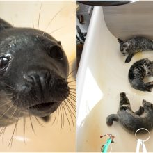 Jūrų muziejuje jau gydoma dešimt ruoniukų