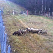 Skaudi nelaimė: Raseinių rajone traukinys partrenkė septynias avis
