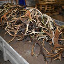 Stambus laimikis: joniškiečio automobilyje – daugiau nei 200 elnių ir briedžių ragų
