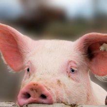 Lenkijoje nustatytas dar vienas didelis afrikinio kiaulių maro protrūkis