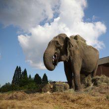 Indijoje pradedamas tyrimas dėl dramblio nužudymo sprogmenimis