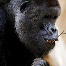 Prahos zoologijos sode koronavirusas nustatytas gorilai ir dviem liūtams