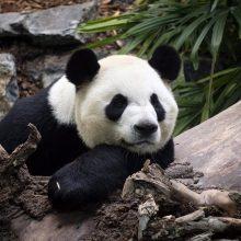 Kanados zoologijos sodas dėl bambukų stygiaus grąžina pandas Kinijai